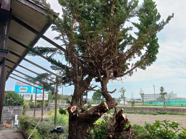 木の伐採:大川市サムネイル